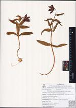 Fritillaria camtschatcensis (L.) Ker Gawl.
