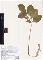 Polygonatum involucratum (Franch. & Sav.) Maxim.