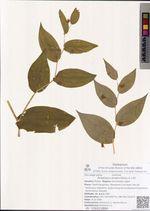 Streptopus amplexifolius (L.) DC.