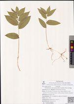Streptopus spreptopoides (Ledeb.) Frye et Rigg