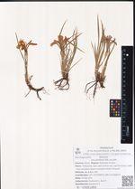 Iris unuflora Pall. ex Link.