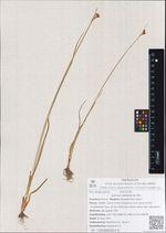 Juncus castaneus Sm.