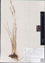 Juncus gracillimus (Buchenau) V.I.Krecz. & Gontsch.