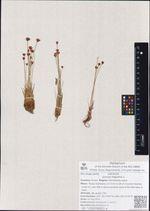 Juncus triglumis L.