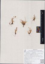 Luzula camtchadalorum (Sam.) Gorodk. Ex Kryl.