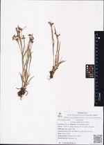 Luzula sibirica V. Krecz.