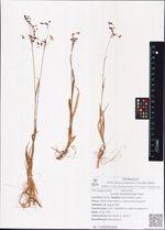 Luzula wahlenbergii Rupr.