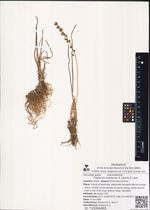 Triglochin asiaticum Á. Löve & D. Löve
