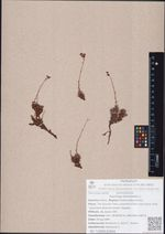 Saxifraga bronchialis L.