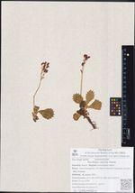 Saxifraga calycina Sternb.