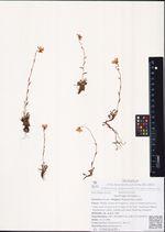 Saxifraga hirculus L.