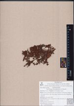 Saxifraga omolojensis A.P.Khokhr.