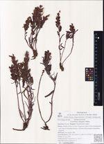 Castilleja elegans Malte