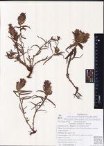 Castilleja pallida (L.) Spreng.