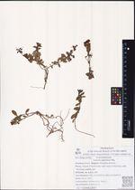 Linaria japonica Miq.