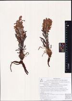 Pedicularis alopecuroides Adams ex Steven