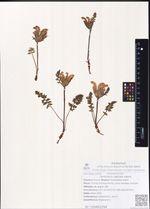 Pedicularis capitata Adams