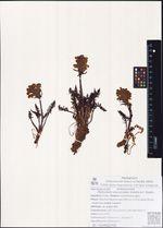 Pedicularis interioroides (Hultén) A.P. Khokhr.