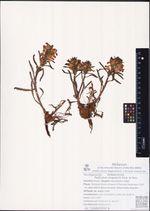 Pedicularis langsdorfii Fisch. ex Stev.