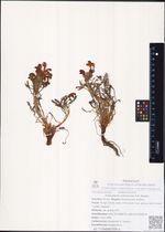 Pedicularis ochotensis A.P. Khokhr.