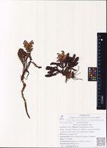 Pedicularis oederi Vahl