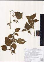 Solanum kitagawae Schonb.-Tem.
