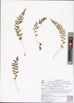 Dennstaedtia hirsuta (Sw.) Mett. ex Miq.