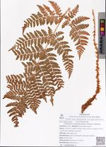 Oreopteris quelpaertensis (Masam.) Nakaike
