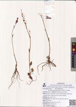 Acetosa pseudoxyria (Tolm.) Tzvelev