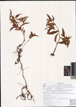 Aconogonon ajanensis (Regel et Tiling) Hara