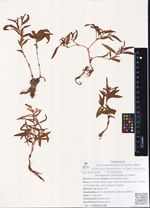 Aconogonon ochreatum (L.) Nakai