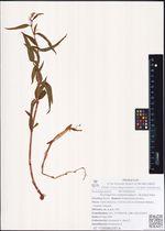 Aconogonon tripterocarpum  (A.Gray) Hara