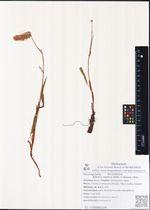 Bistorta elliptica (Willd. tx Spreng.) Kom.