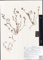 Polygonum humifusum C. Merck ex K. Koch