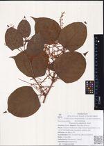 Reynoutria japonica Houtt.