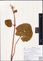 Rheum compactum L.