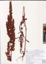 Rumex stenophyllus Ledeb.