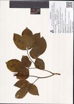 Paeonia oreogeton S. Moore