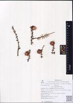 Larix cajanderi Mayr