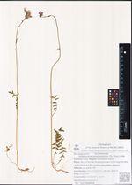 Polemonium campanulatum (Th. Fries) Lindb.