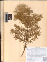 Taxus cuspidata Siebold & Zucc.