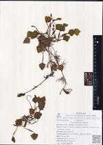 Trapa japonica Flerow