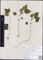 Achudemia japonica Maxim.