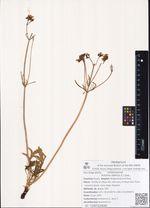Patrinia sibirica (L.) Juss.