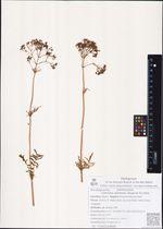 Valeriana ajanensis (Regel et Til.) Kom.