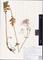 Valeriana alternifolia Ledeb.