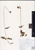 Valeriana amurensis P. Smirn. ex Kom.
