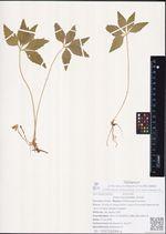 Viola dactyloides Schult.