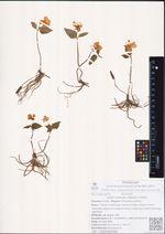 Viola orientalis (Maxim.) V.Beck.