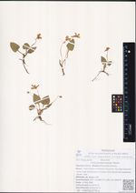 Viola phalacrocarpa Maxim.